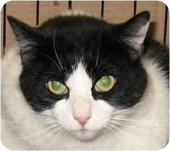 Domestic Shorthair Cat for adoption in Plainville, Massachusetts - Bandit
