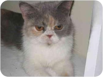 Persian Kitten for adoption in Beverly Hills, California - Velma