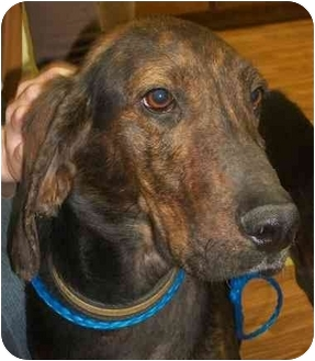 Plott Hound/Bloodhound Mix Dog for adoption in Cleveland, Tennessee - Hounds for the Holidays: Arlo