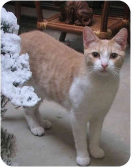 Domestic Shorthair Cat for adoption in Davis, California - Mossimo