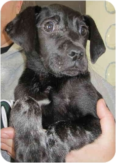Labrador Retriever/Weimaraner Mix Puppy for adoption in Bel Air, Maryland - Annie