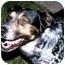 Photo 4 - Australian Cattle Dog Mix Dog for adoption in Lamar, Nebraska - Tripod
