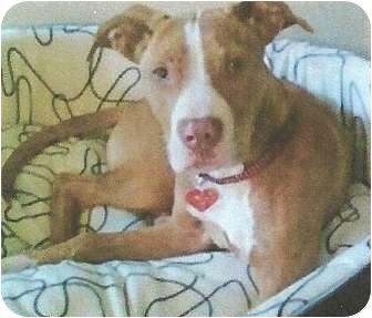 Pit Bull Terrier/Labrador Retriever Mix Dog for adoption in Seattle, Washington - Rylie Mae