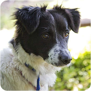 Border Collie Mix Dog for adoption in Santa Barbara, California - Lovey