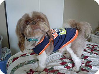 Shih Tzu Dog for adoption in Riverside, California - Captain