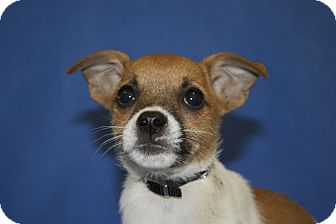 Terrier (Unknown Type, Small) Mix Puppy for adoption in Broomfield, Colorado - Madison