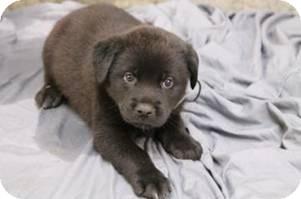 Labrador Retriever Mix Puppy for adoption in Pompton Lakes, New Jersey - Spash