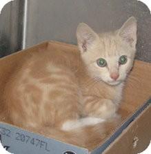 Domestic Shorthair Kitten for adoption in Stillwater, Oklahoma - Cory