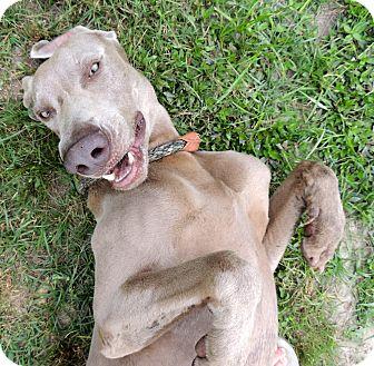 Weimaraner Dog for adoption in Hammond, Louisiana - George