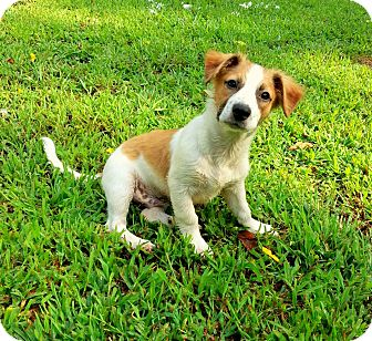 Corgi/Fox Terrier (Smooth) Mix Puppy for adoption in Windham, New Hampshire - Clyde