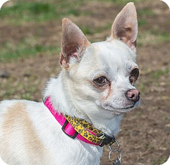 Chihuahua Mix Dog for adoption in Elmwood Park, New Jersey - Pancho