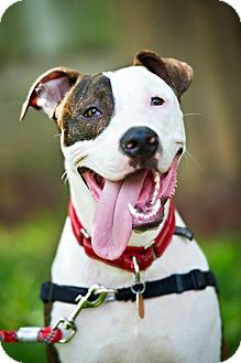 Pit Bull Terrier Mix Dog for adoption in Houston, Texas - Frankie