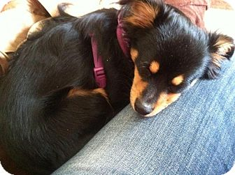 Chihuahua Mix Puppy for adoption in Wayne, New Jersey - Bernie
