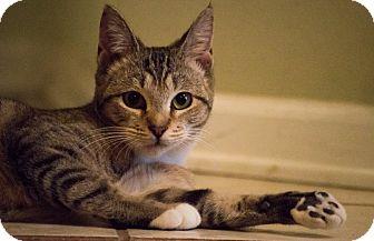 Domestic Shorthair Kitten for adoption in Matthews, North Carolina - Purdy