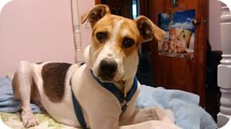 Jack Russell Terrier/Great Dane Mix Dog for adoption in Saint Albans, West Virginia - Noah