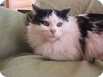 Domestic Longhair Cat for adoption in Ridgway, Colorado - King