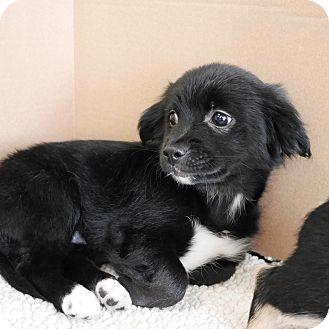 Poodle (Miniature)/Terrier (Unknown Type, Small) Mix Puppy for adoption in Montclair, California - Dakota