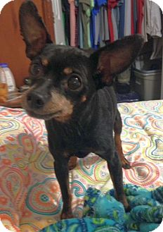 Chihuahua Mix Dog for adoption in Chattanooga, Tennessee - Poncho