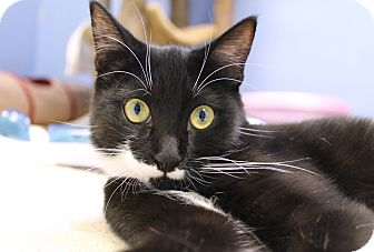 Domestic Shorthair Cat for adoption in Chicago, Illinois - Maris