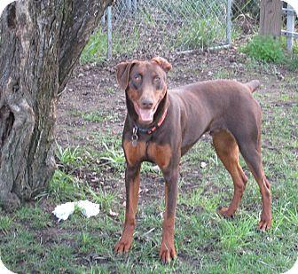 Doberman Pinscher Mix Dog for adoption in Sonoma, California - Jesse