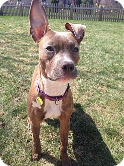 Pit Bull Terrier/Greyhound Mix Dog for adoption in Warrenville, Illinois - Bindi
