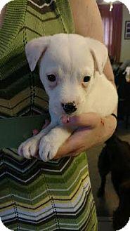 Hound (Unknown Type)/Shepherd (Unknown Type) Mix Puppy for adoption in Providence, Rhode Island - Rhododendron (Rhode)