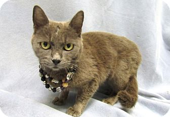 Russian Blue Cat for adoption in Lexington, North Carolina - Tatiana
