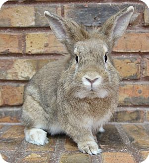 Lionhead Mix for adoption in Benbrook, Texas - Pete and Clyde
