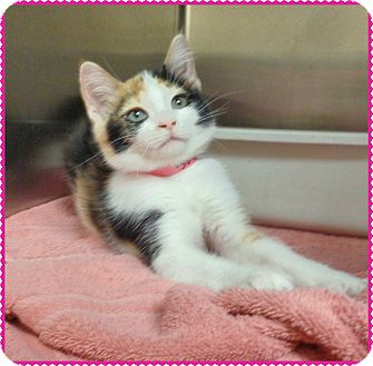 Domestic Shorthair Kitten for adoption in Marietta, Georgia - REESE-see video