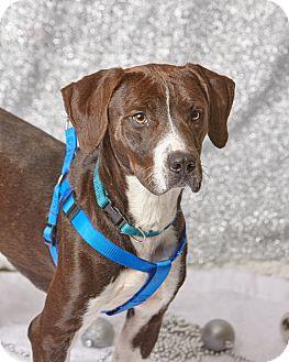 Mountain Cur Mix Dog for adoption in Harrisonburg, Virginia - Vivani
