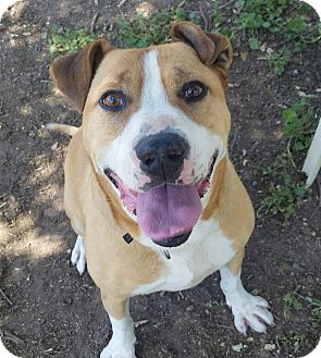 Parson Russell Terrier/American Staffordshire Terrier Mix Dog for adoption in Los Olivos, California - Rocky
