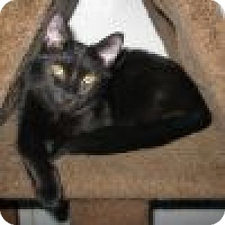 Domestic Shorthair Cat for adoption in Powell, Ohio - Noelle