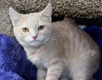 Domestic Shorthair Kitten for adoption in Louisville, Kentucky - Camden