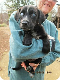 Labrador Retriever/Husky Mix Puppy for adoption in Brookside, New Jersey - MAX