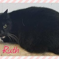 Domestic Shorthair/Domestic Shorthair Mix Cat for adoption in Anderson, Indiana - Babe Ruth