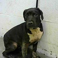 Adopt A Pet :: GUS - Atlanta, GA