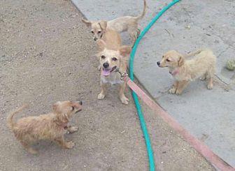 Chihuahua Puppy for adoption in Phoenix, Arizona - Viena