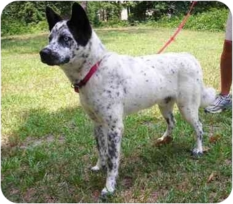 Cattle Dog/Border Collie Mix Dog for adoption in Peachtree City, Georgia - Hank