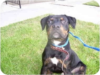 Rottweiler Mix Puppy for adoption in Malibu, California - MICKY