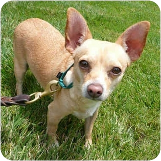 Chihuahua Dog for adoption in San Clemente, California - BOBBY