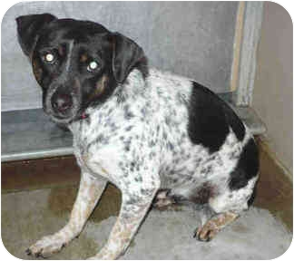 Blue Heeler Mix Dog for adoption in San Clemente, California - BUSTER