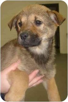 Shepherd (Unknown Type)/Collie Mix Puppy for adoption in Old Bridge, New Jersey - Minnie