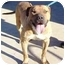 Photo 1 - Mastiff/American Pit Bull Terrier Mix Dog for adoption in Berkeley, California - Tiger