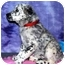 Photo 3 - Australian Cattle Dog/Australian Cattle Dog Mix Puppy for adoption in Broomfield, Colorado - Pearl S. Buck