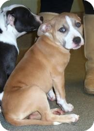American Pit Bull Terrier Mix Puppy for adoption in Columbus, Georgia - Kallie 0656