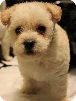 Maltese/Beagle Mix Puppy for adoption in Long Beach, California - Coconut