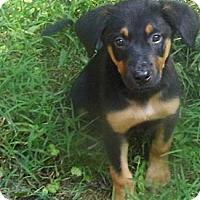 Adopt A Pet :: Stella - Bel Air, MD