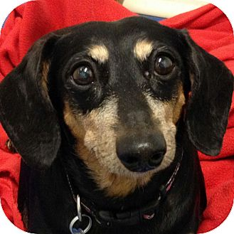 Dachshund Mix Dog for adoption in Ithaca, New York - Camille