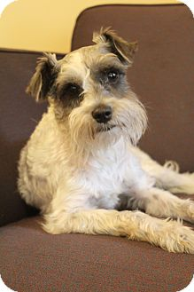 Schnauzer (Miniature)/Poodle (Miniature) Mix Dog for adoption in Bedminster, New Jersey - Gunner