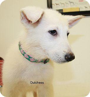 German Shepherd Dog Puppy for adoption in Hibbing, Minnesota - Dutchess